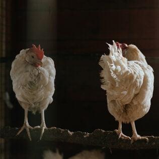 Twee kippen op stok